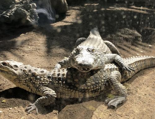På besøg hos krokodillerne
